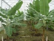 FAO reconhece trabalho da Epagri com Produção de banana