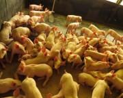 SC amplia exportações de carne suína para China, Chile e Argentina