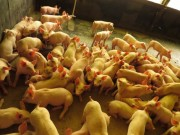 Exportações de carne suína têm aumento de 45,5% nas receitas