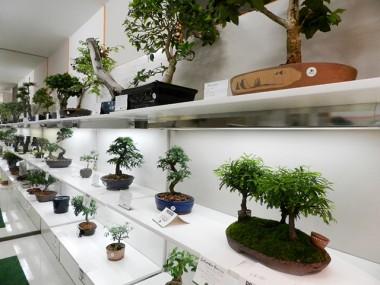 Últimos dias para conferir exposição de bonsai em Criciúma