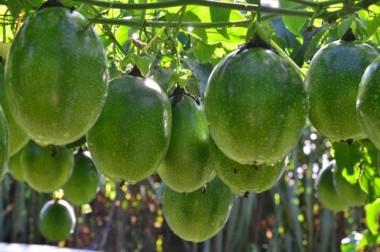 Epagri divulga como agricultores podem comprar sementes do maracujá Catarina