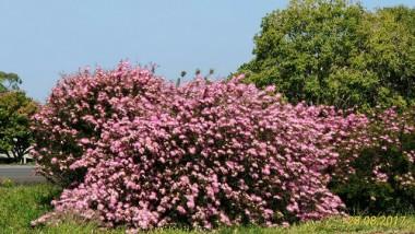 Paisagismo floresce e encanta, no trecho gaúcho da duplicação