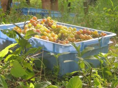 XVII Festa do Vinho será aberta hoje em Urussanga