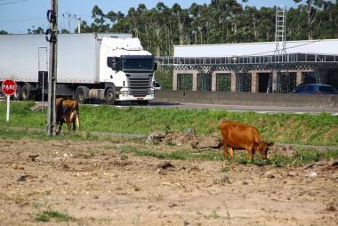 DNIT/SC e Consórcio agem para evitar pastoreio de animais próximos da BR-101