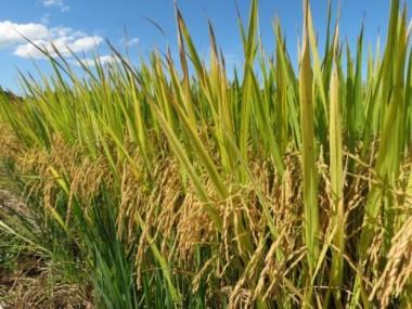 Epagri de Santa Catarina lança novo cultivar de arroz nesta sexta-feira
