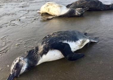 Pinguins são encontrados mortos na orla de Balneário Rincão