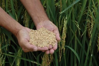 Safra de arroz cresce quase 15% em Santa Catarina