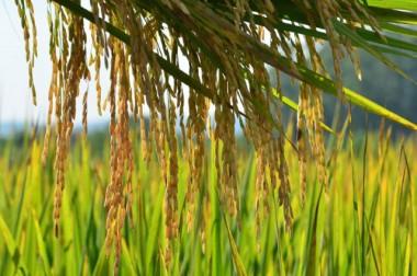 Santa Catarina terá safra de grãos 15% maior este ano