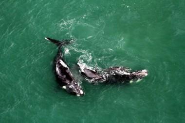 Baleias-franca já marcam presença no Litoral de Santa Catarina