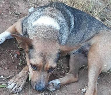 Depois do Rincão cães são envenenados em Içara