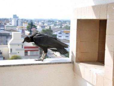 Urubus encontram em prédios ambientes seguros para reprodução