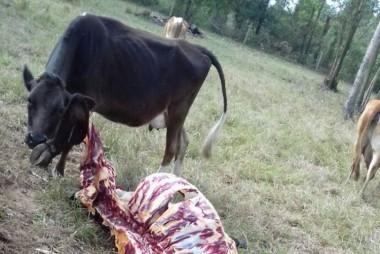"""Bovinos são """"carneados"""" por ladrões, no Campo Mãe Luzia"""