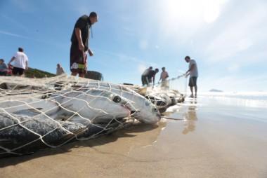 Governo publica medidas de proteção para pesca de arrasto de praia de tainha