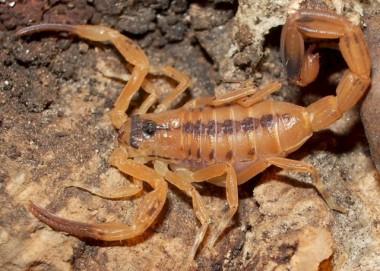Escorpiões são encontrados na Vila Beatriz em Maracajá