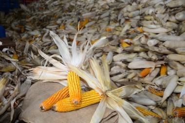 Milhos desenvolvidos pela Epagri de Santa Catarina resistem à estiagem