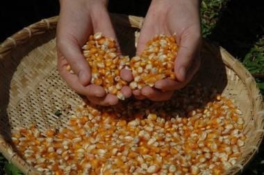 Produtores de milho em SC esperam safra 15,78% maior em 2017