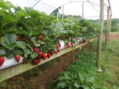Produção de morangos suspensos é a mais nova tecnologia da Epagri