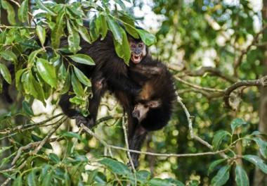 Macacos do Parque de Maracajá não são ameaça de febre amarela