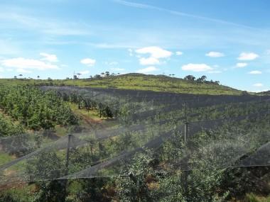 Santa Catarina incentiva a cobertura dos pomares de maçã