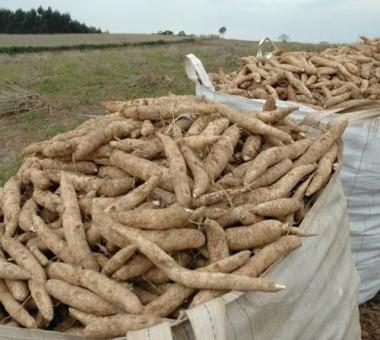 Preço da mandioca é a boa notícia do Boletim Agropecuário da Epagri