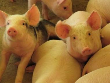 SC completa cinco anos do reconhecimento como livre de peste suína clássica