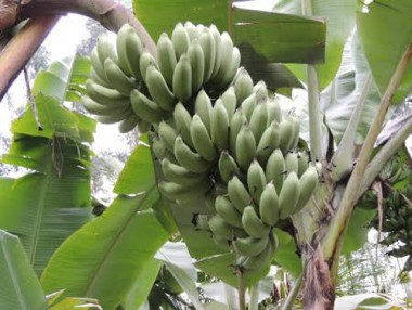 Banana Belluna será apresentada nessa sexta-feira