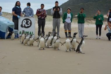 Pinguins são reabilitados e voltam à natureza