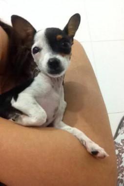 Família procura cachorrinha Poly que está desaparecida